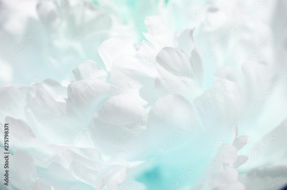Fototapeta Close up of beautiful peony flower. Turquoise toned photo. - Image