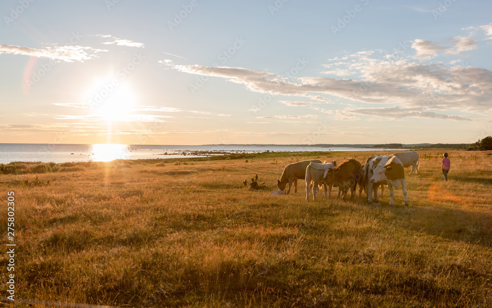 Fototapeta Free range dairy and beef cow grazing on a meadow