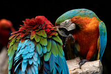 Couples Of Red Scarlet Macaws ...