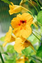 Close Up Of A Yellow Nasturtium (Tropaeolum) Flower Blooming In A Garden.