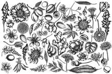 Vector Set Of Hand Drawn Black And White Almond, Dandelion, Ginger, Poppy Flower, Passion Flower, Tilia Cordata