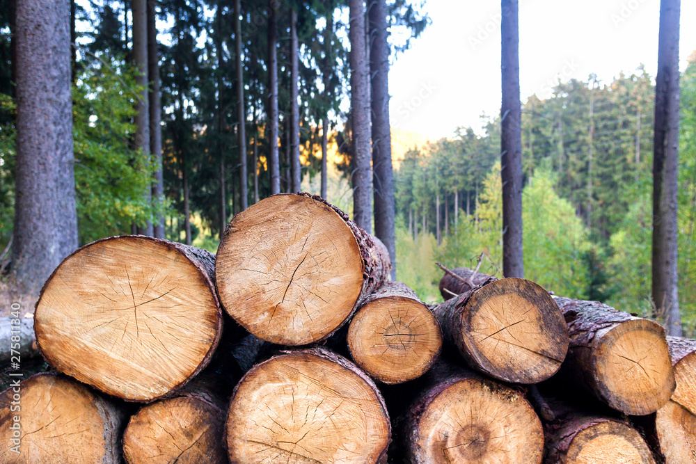 Fototapety, obrazy: timber in the forest background