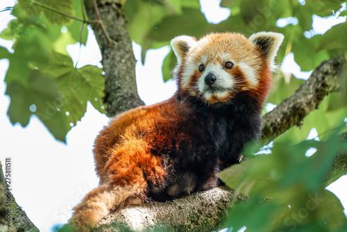 Keuken foto achterwand Panda The red panda, Ailurus fulgens, also called the lesser panda.