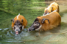 Red River Hog, Potamochoerus P...