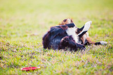 Playful Border Collie Purebred Dog Playing Outdoors Rolling Around Down In The Green Grass. Adorable Puppy Enjoying A Sunny Day