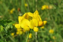 Lotus Corniculatus Flowers