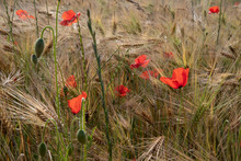 Wheat Field With Poppies