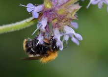 Bombus Pascuorum, The Common Carder Bee, Is A Species Of Bumblebee, Greece