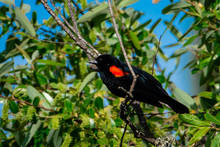 A Red Winged Blackbird Perched...