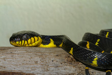 Close Up Head Gray Banded Cat-eye Snake