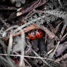 Pair Of Ladybirds Mating