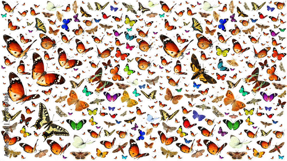 Fototapety, obrazy: Butterflies migrating flight. Isolated on a white background. Wildlife. Insects. Colors. Nature