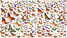 Butterflies Migrating Flight. Isolated On A White Background. Wildlife. Insects. Colors. Nature