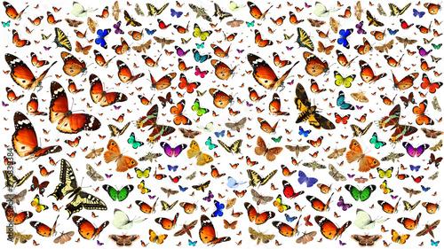 Fotografia  Butterflies migrating flight