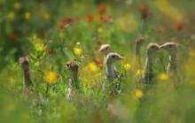 Young Wild Turkey Chicks In Flowers Field