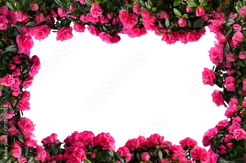 Frame made of pink potted azaleas (Azalea indica) isolated on white background. Side view.