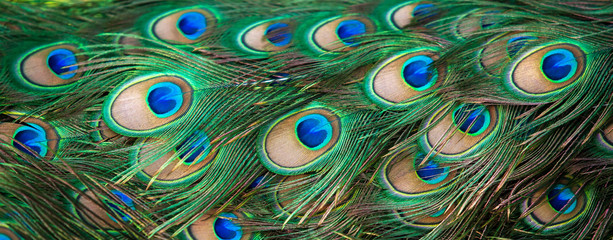 Close-up of peacock eyespot feathers.