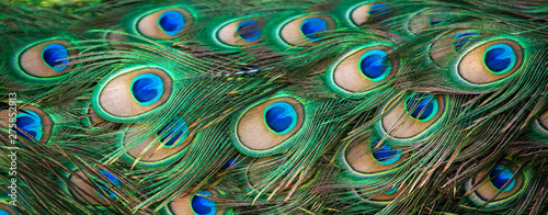 Close-up shot of elegant Peacock feathers.