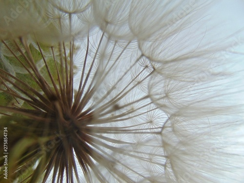dandelion abstract #275854734