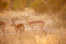 A Herd Of Impala The Gorgeous ...