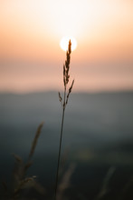 Gramineae With Sunset On The B...
