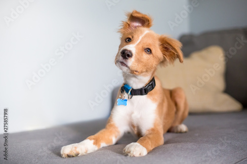 A cute red and white mixed breed puppy lying on a couch and listening with a hea Fototapete