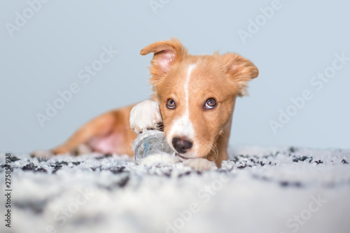 Obraz na płótnie A cute red and white mixed breed puppy with a mischievous expression, lying on a