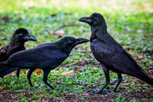 Group Of Black Raven Crow Bird On Green Grass Field