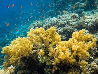 Naklejka na ściany i meble Colourful marine life in Red Sea, Egypt, Dahab