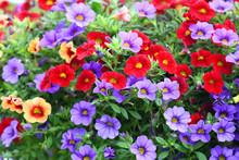 Colorful Petunia Flower Blooming In Summer