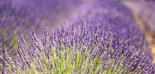 Photo sur Toile Lavande Fields of lavender in Provence, France.