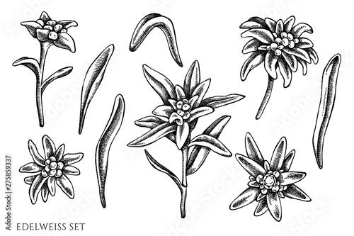 Fényképezés Vector set of hand drawn black and white edelweiss