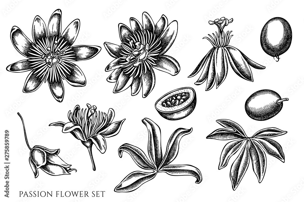 Fototapeta Vector set of hand drawn black and white passion flower