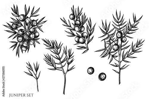 Fototapeta Vector set of hand drawn black and white juniper obraz