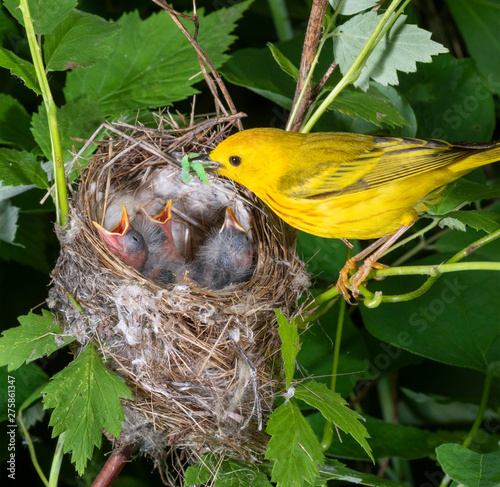 Valokuvatapetti Yellow warbler (Setophaga petechia) male feeding nestlings in the nest, Iowa, US