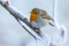 European Robin Bird Erithacus ...