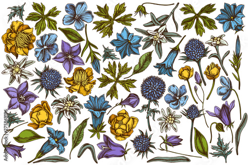 Vector set of hand drawn colored bellflower, edelweiss, globethistle, globeflowe Canvas Print