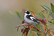 Halsbandschnäpper (Ficedula albicollis) - Collared flycatcher
