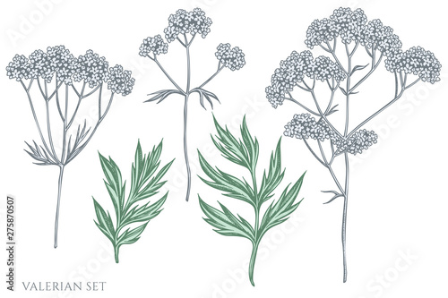 Photo  Vector set of hand drawn pastel valerian