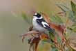 canvas print picture - Halsbandschnäpper (Ficedula albicollis) - Collared flycatcher