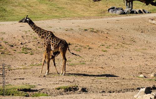 Photo mom giraffe feeding a his baby