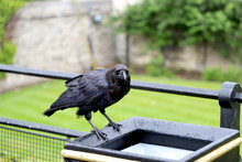 Raven At Tower Of London On Tr...