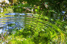 池の水面の波紋と緑の...