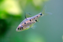 Checker Barb - Oliotius Oligol...