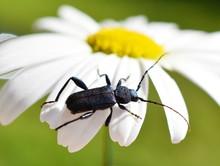 The Longhorn Beetle Callidium ...