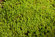 canvas print picture - A little long green moss