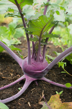 Young Purple Kohlrabi (Brassica Oleracea Var. Gongylodes) In The Ground In The Summer Garden. Agriculture Concept, Cultivated Plants, Farming Season