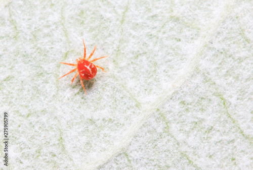 red mite on plant Canvas Print