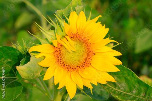 In de dag Zonnebloem oil sunflower blossom
