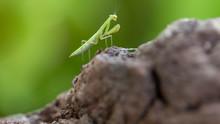 A Baby Praying Mantis On A Vol...